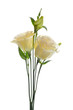 Yellow lisianthus or eustoma flowers on white background
