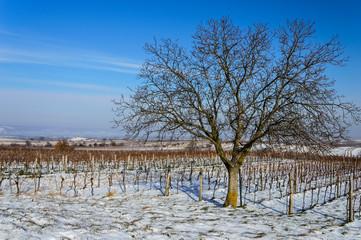 Nussbaum und Weingarten mit Schnee