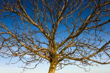 Junger Nussbaum vor blauem Himmel