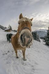Haflinger in Schnee