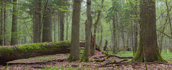 Springtime deciduous stand of Bialowieza Fores