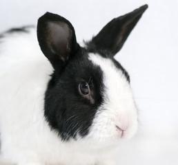 Rabbit closeup