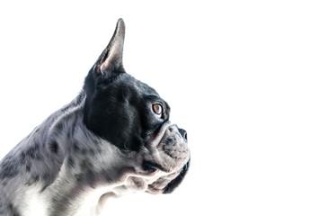 French bulldog portrait isolated on white