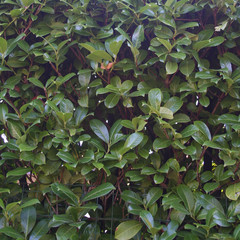 siepe di lauro_ giardino