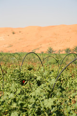 Growing tomatoes in the UAE.