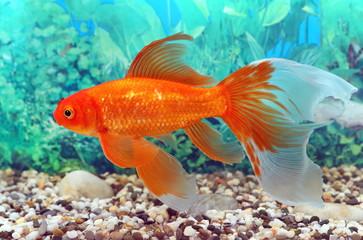 Złota rybka z pięknych płetw