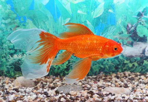 Goldfish - 75490236