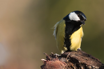 careful observation of the great tit