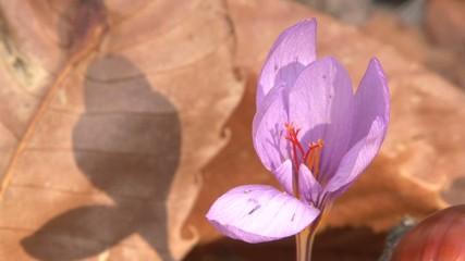 Etna flower