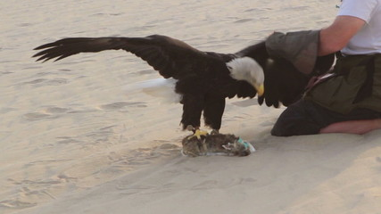 Eagle trainer picking up Bald eagle from lure