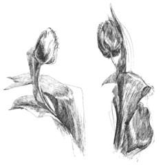 Tulip flowers sketch