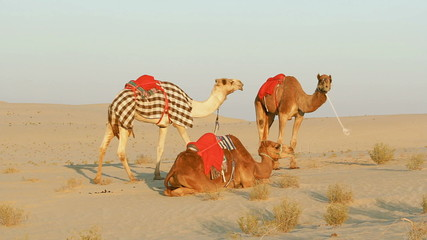 Three saddled camels in the desert waiting for riders