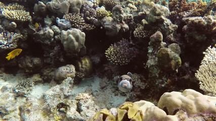 Black Spotted or Dog Faced Puffer fish (Arothron nigropunctatus)