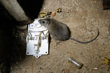 death mouse in trap basement ed