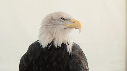 Portrait of American Bald eagle