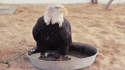 Domestic American Bald eagle sitting in a bath