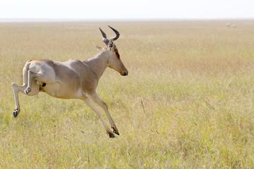 Hartebeests jumping