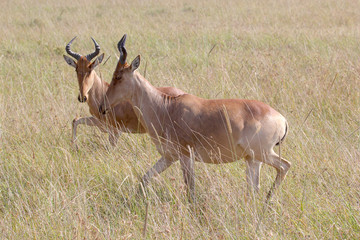 Hartebeests in Serengeti National Park, Tanzania