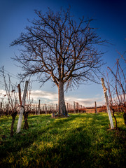 Tree in the middle of shed vineyards 2