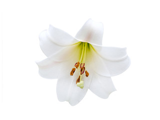 Lily varieties flowers