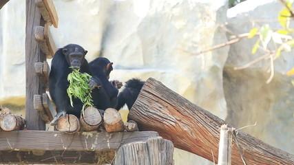 Orangutan (Pongo pygmaeus) and family play and eat leaves.