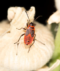 red beetle in nature. close-up