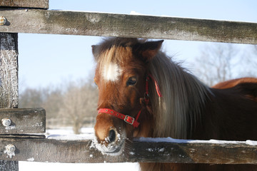 Pony looking out of the winter  corral rural scene