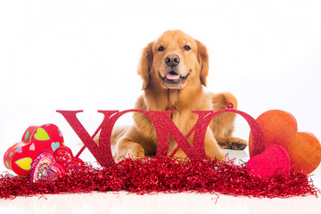 XOXO Golden Retriever Dog on Valentine's Day