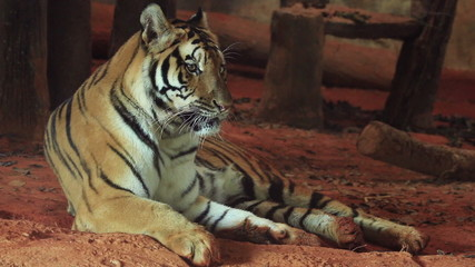 A tiger laying down.