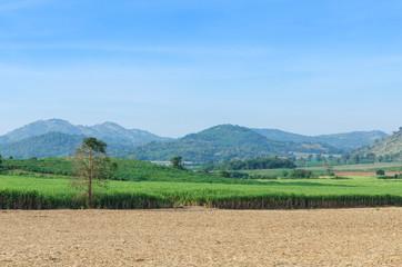 Sugarcane field agriculture tropical farm landscap