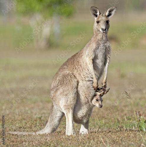 Red kangaroos outback Queensland,Australia - 75517006