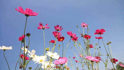 White pink and purple cosmos flowers swaying in the breeze.