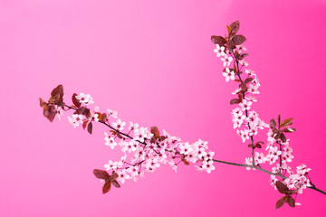 Blooming tree branch on pink