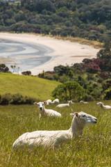 sheep resting on grassy slope