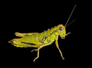 Grasshopper with raindrops 2