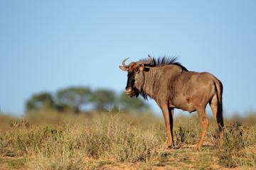 Blue wildebeest (Connochaetes taurinus), Kalahari desert