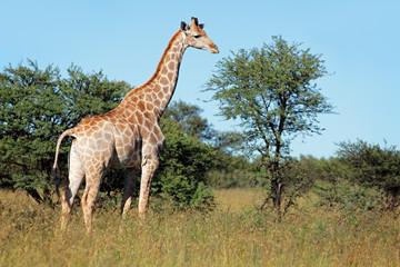 Giraffe in natural habitat