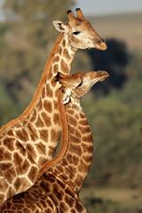 Giraffe interaction