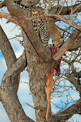 Leopard with prey,  Sabie-Sand nature reserve