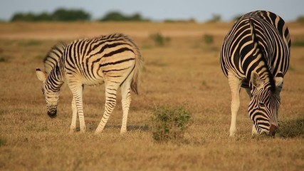 Plains zebra mare with foal in natural habitat