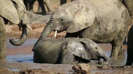Playful African elephant calves splashing water
