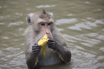 Crab-eating macaque eating a banana happily
