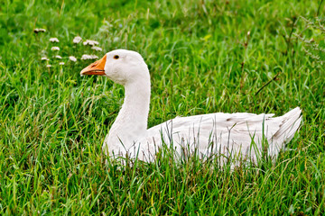 Goose white in grass