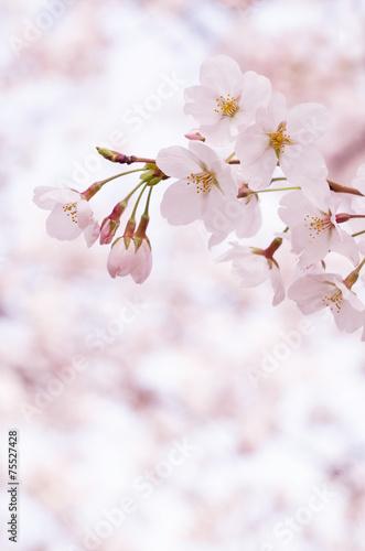 Fotobehang Kersen ソメイヨシノ