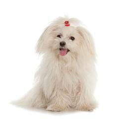 White Maltese dog on white background