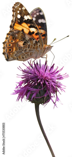 Deurstickers Vlinder Painted Lady butterfly on flowering thistle