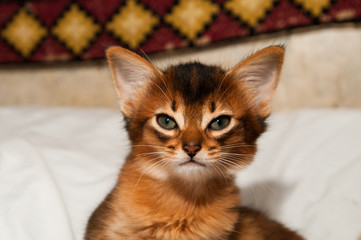 Portrait of somali kitten