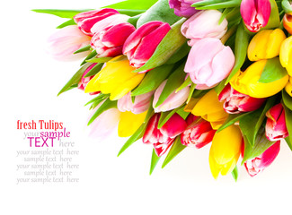 Colorful tulip blooms isolated on white