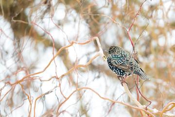 Oiseau étourneau dans les branches