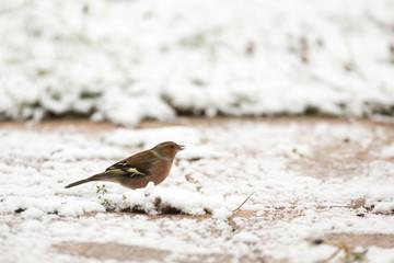 Oiseau pinson des arbres dans la neige